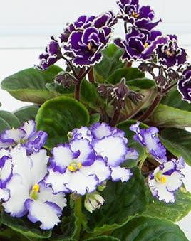 Фиалка цветы купить популярные цветы на 8 марта в горшке