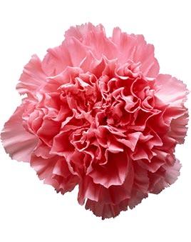 Цветы гвоздики.цена