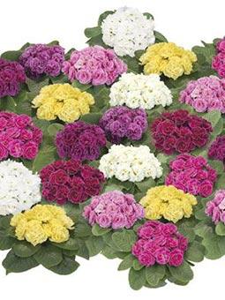 Купить оптом садовые цветы в кишинев круглосуточная доставка цветов оренбург