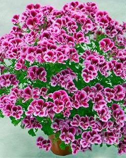 Пеларгония ангельские глазки. Купить ...: www.gardi.biz/greenhouse/hanging-plants/angel-pelaronium