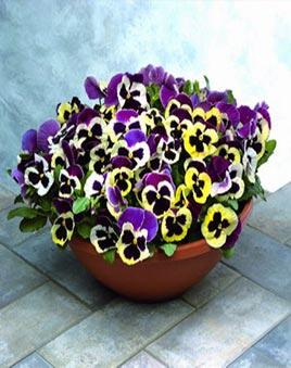 цветы фото виола