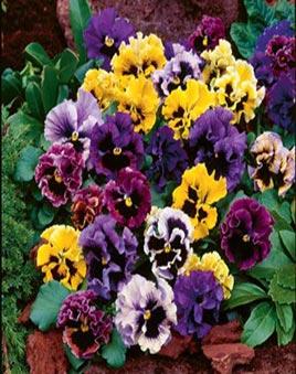 Виола цветы купить живые цветы в москве недорого