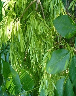 ясень зелёный фото
